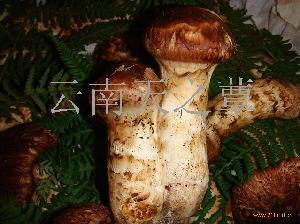 云南天之蕈食用菌
