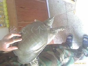 纯野生甲鱼