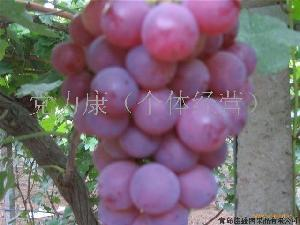陕西红提葡萄价格/红提葡萄基地价格