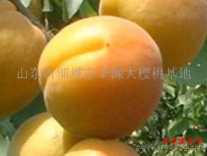 圣源牌优质金太阳杏
