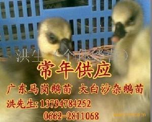 广东阳江大白沙杂鹅苗