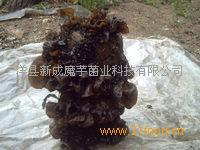 高产黑木耳菌种