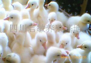 扬州大白鹅