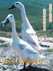 商品白鹜鸭