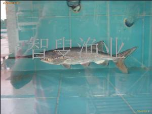 供应优质鸭嘴鱼