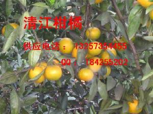 柑橘桔子落地果供应