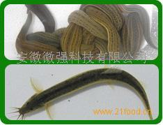 安徽肥西泥鳅