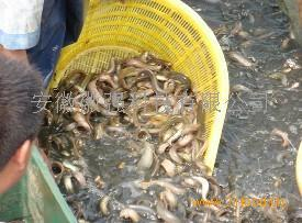 安徽合肥养泥鳅