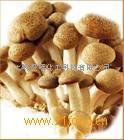 柱状平头菇