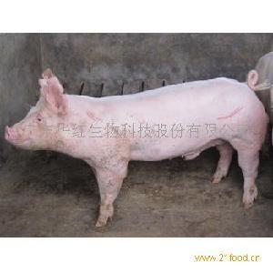 大白小公猪