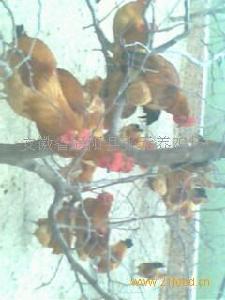 涡阳土公鸡