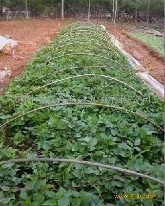 越南紫薯苗