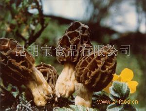 云南产野生尖顶羊肚菌