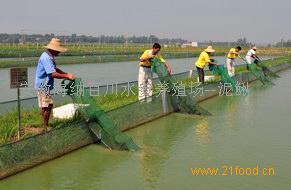 安徽肥西泥鳅苗