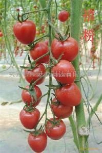 硬粉果娇粉樱桃小番茄种子