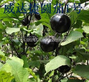 威達捷圓茄1號茄子種子