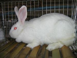 伊拉肉兔种兔的价格,伊拉种兔养殖基地