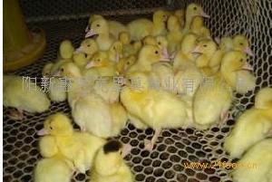 黄石优质番鸭种蛋