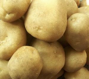小白花品种马铃薯