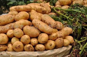 早熟土豆种