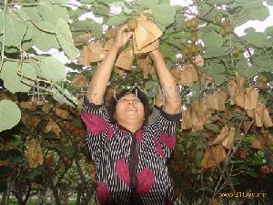 套袋猕猴桃