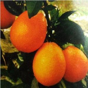 长果形纽荷尔脐橙