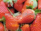 优质章姬草莓苗三叶一心打冷发货0.5元包邮