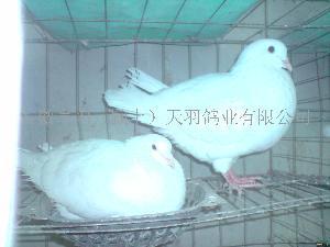 安徽亳州种鸽