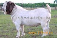 供肉牛杜泊羊种羊
