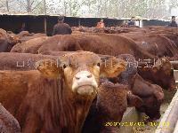 鲁西黄肉牛价格