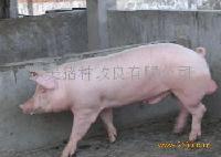 HYA公猪