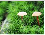 *菌白灵菇