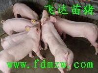 苗猪、二元母猪等良种仔猪