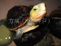 黄缘闭盒龟
