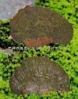 长白山野生松针层孔菌