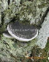 长白山野生裂蹄层孔菌