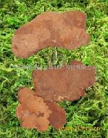 长白山野生斑褐孔菌