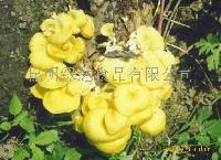 綠達野生菌-人工雞油菌