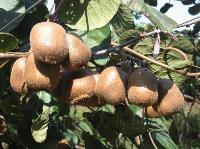 陕西猕猴桃