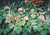 纯天然野生刺莓