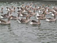 法国朗德鹅青年种鹅