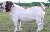 鲁西黄牛波尔山羊亚洲黄羊西门塔尔