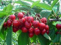 大樱桃等水果