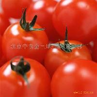 番茄种子-金粉6号