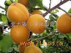 杏陜西金太陽杏行情/金太陽杏批發價格