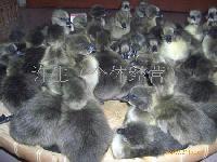 大种黑毛鹅