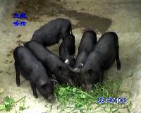 食草藏香猪肉