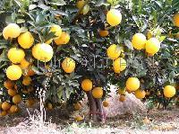脐橙*-赣南脐橙