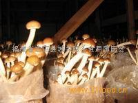 供應批發茶樹菇菌種