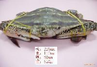 活冻梭子蟹